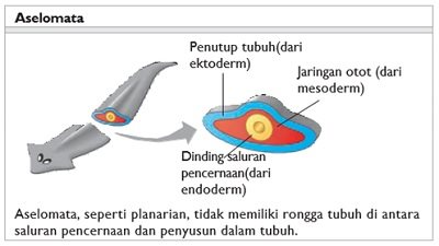 lining and body cavity of the platyhelminthes
