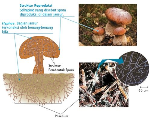 the body structure of the fungus fungi