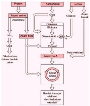 protein and fat catabolism relationship